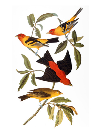 Audubon: Tanager, 1827 Stretched Canvas Print