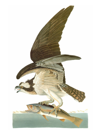Audubon: Osprey Stretched Canvas Print