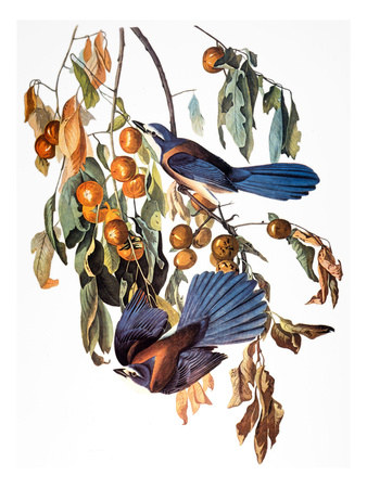 Audubon: Scrub Jay, 1827-38 Stretched Canvas Print