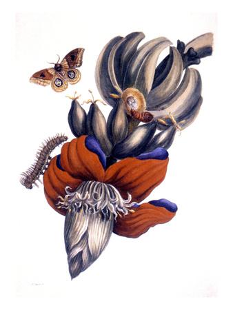 Bananas (Musa Paradisiaca): Stretched Canvas Print