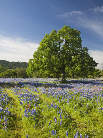 Lone Oak Standing in Field of Wildflowers with Tracks Leading by Tree, Texas Hill Country, Usa Stretched Canvas Print