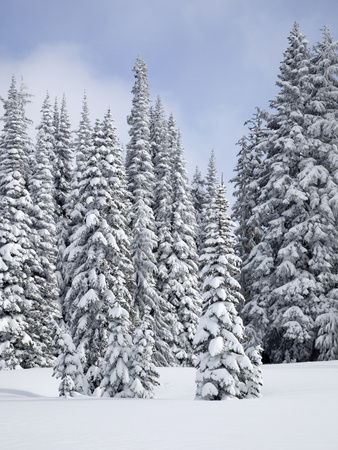 Snow-Covered Fir Trees, Mount Rainier National Park, Washington, Usa Stretched Canvas Print