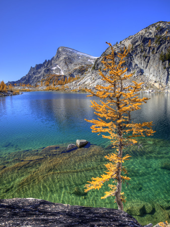 Golden Larch Tree, Enchantment Lakes, Alpine Lakes Wilderness, Washington, Usa Stretched Canvas Print