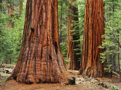 Close-Up of Sequoia Trees in Forest, Yosemite National Park, California, Usa Stretched Canvas Print