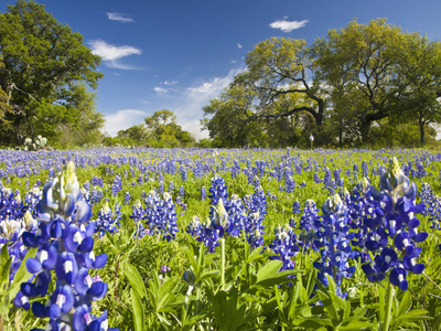 Field of Texas Bluebonnets and Oak Trees, Texas Hill Country, Usa Stretched Canvas Print