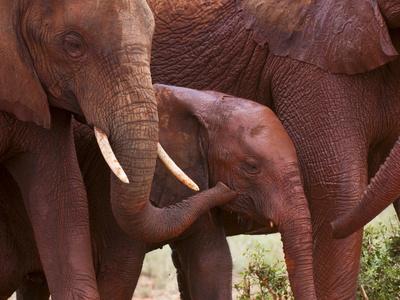 Elephant Calf (Loxodonta Africana), Tsavo East National Park, Kenya, East Africa, Africa Stretched Canvas Print