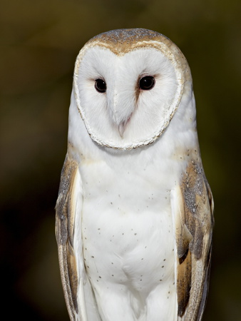 Barn Owl (Tyto Alba) in Captivity, Arizona Sonora Desert Museum, Tucson, Arizona, USA Stretched Canvas Print