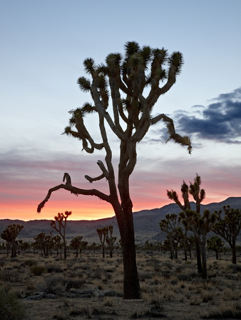 Joshua Tree at Sunset, Joshua Tree National Park, California Stretched Canvas Print