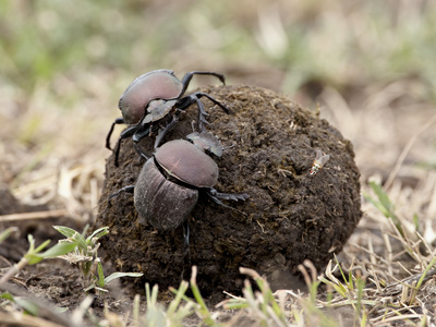 Two Dung Beetles Atop a Ball of Dung, Serengeti National Park, Tanzania, East Africa, Africa Stretched Canvas Print