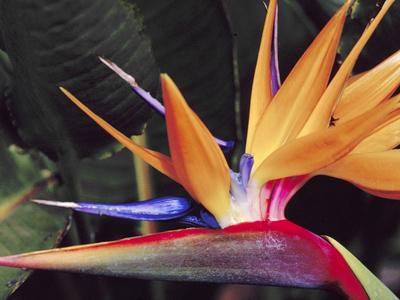 Bird of Paradise, Maui, Hawaii, USA Stretched Canvas Print
