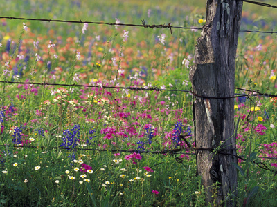 Fence Post and Wildflowers, Lytle, Texas, USA Stretched Canvas Print