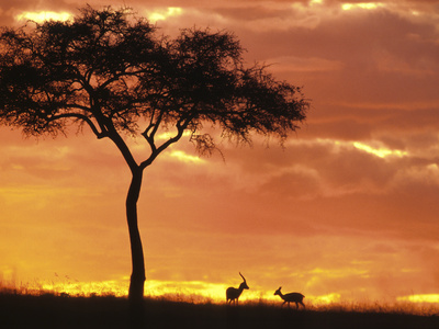 Gazelle Grazing Under Acacia Tree at Sunset, Maasai Mara, Kenya Stretched Canvas Print
