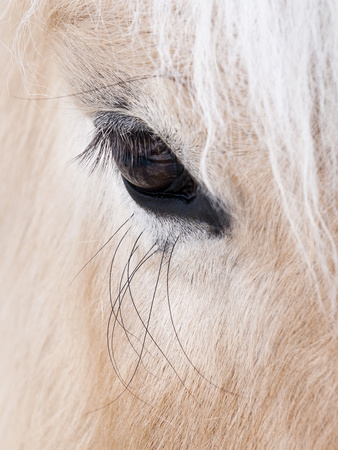 Close-Up of a Horse'S Eye, Lapland, Finland Stretched Canvas Print