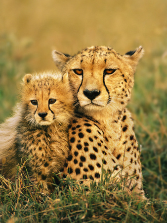 Cheetah and Cub, Masai Mara Reserve, Kenya Stretched Canvas Print