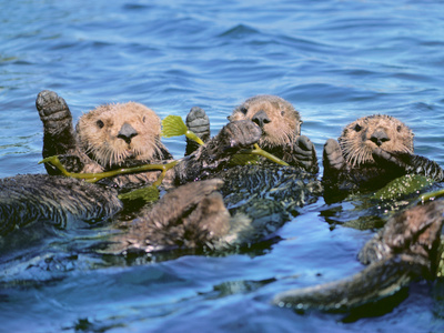 Sea Otters in Kelp, Monterey Bay, California Stretched Canvas Print