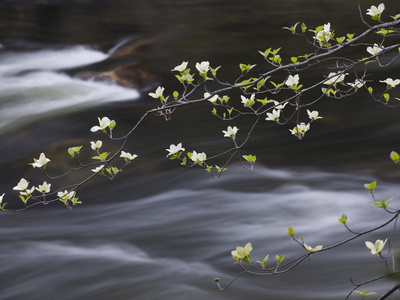 Dogwoods Flowering Along the Merced River in Yosemite Valley in the Spring, California, USA Stretched Canvas Print