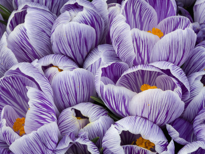 Crocus Flowers Stretched Canvas Print