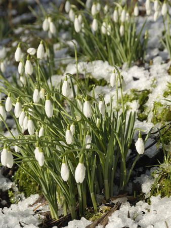 Snowdrops (Galanthus Nivalis) in Winter Snow Stretched Canvas Print