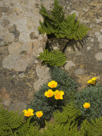 Western Bracken Fern (Pteridium Aquilinum) and California Poppies (Eschscholzicalifornica) Salt Stretched Canvas Print