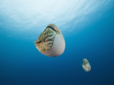 Nautilus, (Nautilus Pompilius), Great Barrier Reef, Australia Stretched Canvas Print