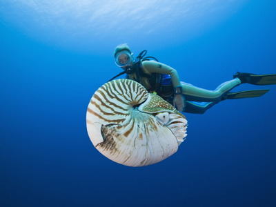 Chambered Nautilus and Diver (Nautilus Pompilius), Great Barrier Reef, Australia Stretched Canvas Print