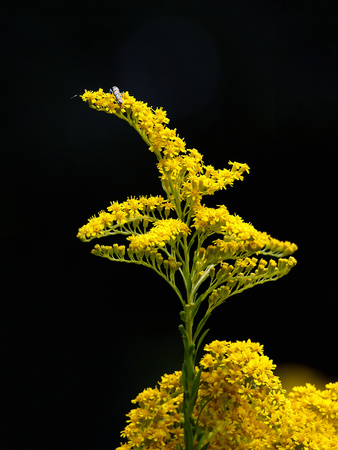 Seaside Goldenrod (Solidago Sempervirens), Charleston, South Carolina, USA Stretched Canvas Print