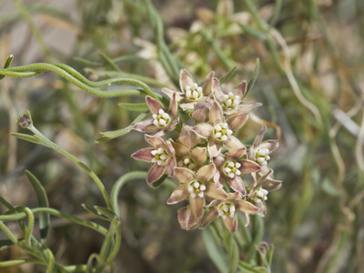 Climbing Milkweed (Sarcostemma Cynanchoides Hartwegii), Joshua Tree National Park, Mojave Desert Stretched Canvas Print