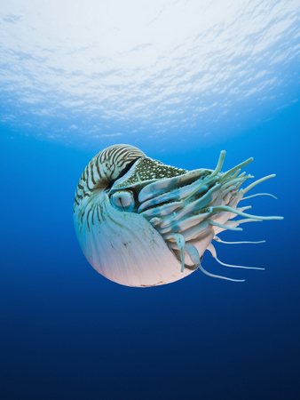 Chambered Nautilus (Nautilus Pompilius), Great Barrier Reef, Australia Stretched Canvas Print