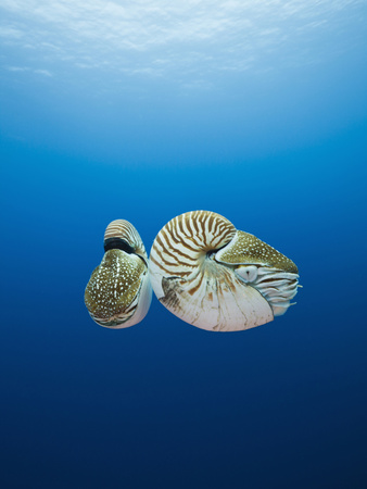 Nautilus, (Nautilus Pompilius), Great Barrier Reef, Australia Stretched Canvas Print