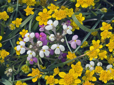 Spring Wildflowers, Johnny Tuck (Triphysarieriantha Rosea) and Goldfields (Lasthenicalifornica) Stretched Canvas Print