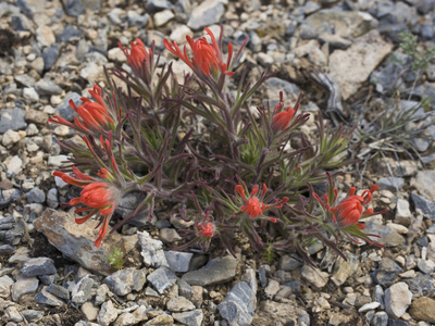 Northwestern Indian Paintbrush, Castilleja Angustifolia), Great Basin National Park, Nevada Stretched Canvas Print