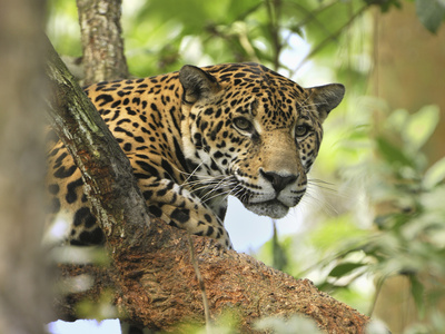 Jaguar Head (Panthera Onca), Belize Stretched Canvas Print