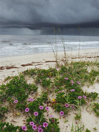 Railroad Vine (Ipomoea Pes-Caprae) and Sea Oats (Uniola Paniculata) Growing Along Beach, Florida Stretched Canvas Print