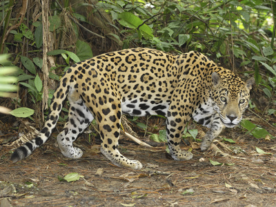Jaguar Walking (Panthera Onca), Belize Stretched Canvas Print