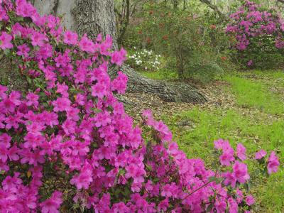 Azalea Blossoms in Spring, Magnolia Plantation, Charleston, South Carolina, Flower Stretched Canvas Print