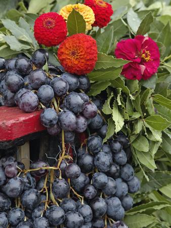 Grapes and Flowers, La Festa Dell'Uva, Impruneta, Italy, Tuscany Stretched Canvas Print