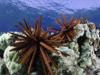 Slate Pencil Sea Urchins (Heterocentrotus Mammillatus) Stretched Canvas Print