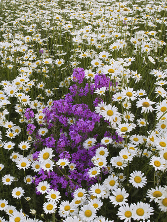 Meadow of Oxeye Daisies, Chrysanthemum Leucanthemum Stretched Canvas Print