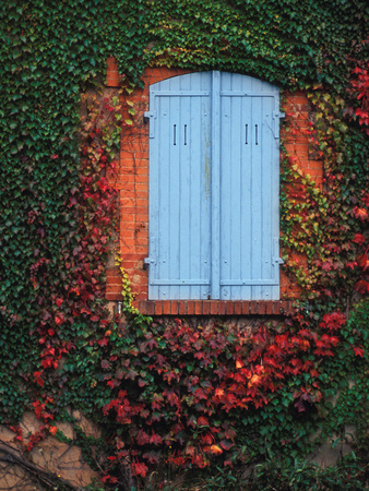 Vine-Covered Wall and Blue Window Shutters, Ozenay, France This Vine Is Using a Wall for Support Stretched Canvas Print