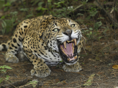 A Crouched and Aggressive Jaguar with Open Mouth, Showing its Sharp Teeth (Panthera Onca), Belize Stretched Canvas Print