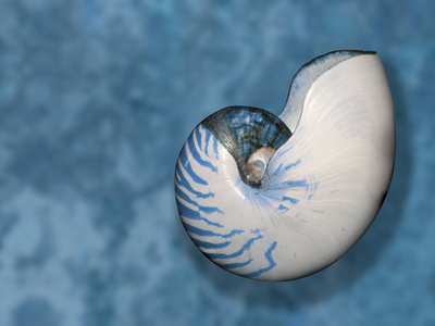 Nautilus Shell Against a Blue Background Stretched Canvas Print
