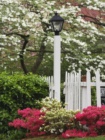 Azaleas and Flowering Dogwood Tree Along White Picket Fence Stretched Canvas Print