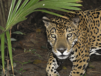 Jaguar (Panthera Onca), Belize Stretched Canvas Print