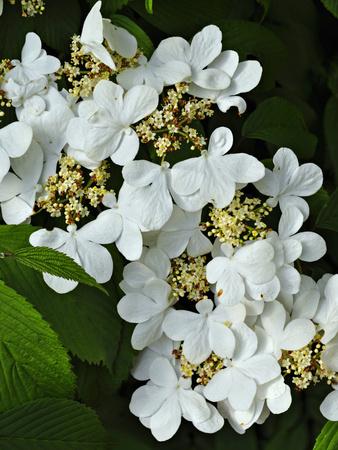 Vibernum Flowers or Corymbs (Viburnum Plicatum) Consist of Small Fertile Flowers Stretched Canvas Print