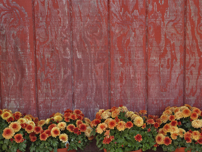 Mums and Red Barn Walll Stretched Canvas Print