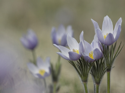 Pasque Flowers, Pulsatilla Patens, Aka Wild Crocus Stretched Canvas Print