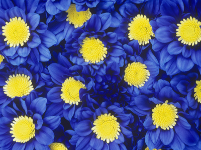 Chrysanthemums with its Blue Dyed Petals Look Striking Stretched Canvas Print