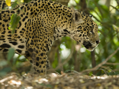 Jaguar (Panthera Onca) Along a Riverbank in Brazil's Pantanal Wetlands Stretched Canvas Print