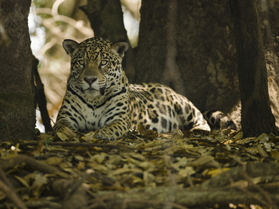 Jaguar (Panthera Onca) Along a Riverbank in Brazil's Pantanal Wetlands Stretched Canvas Print