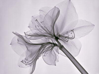 X-Ray of Amaryllis Flowers Stretched Canvas Print